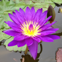 Tanzanite - Premium Tropical Water Lily