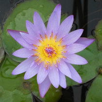 Tina - Tropical Water Lily