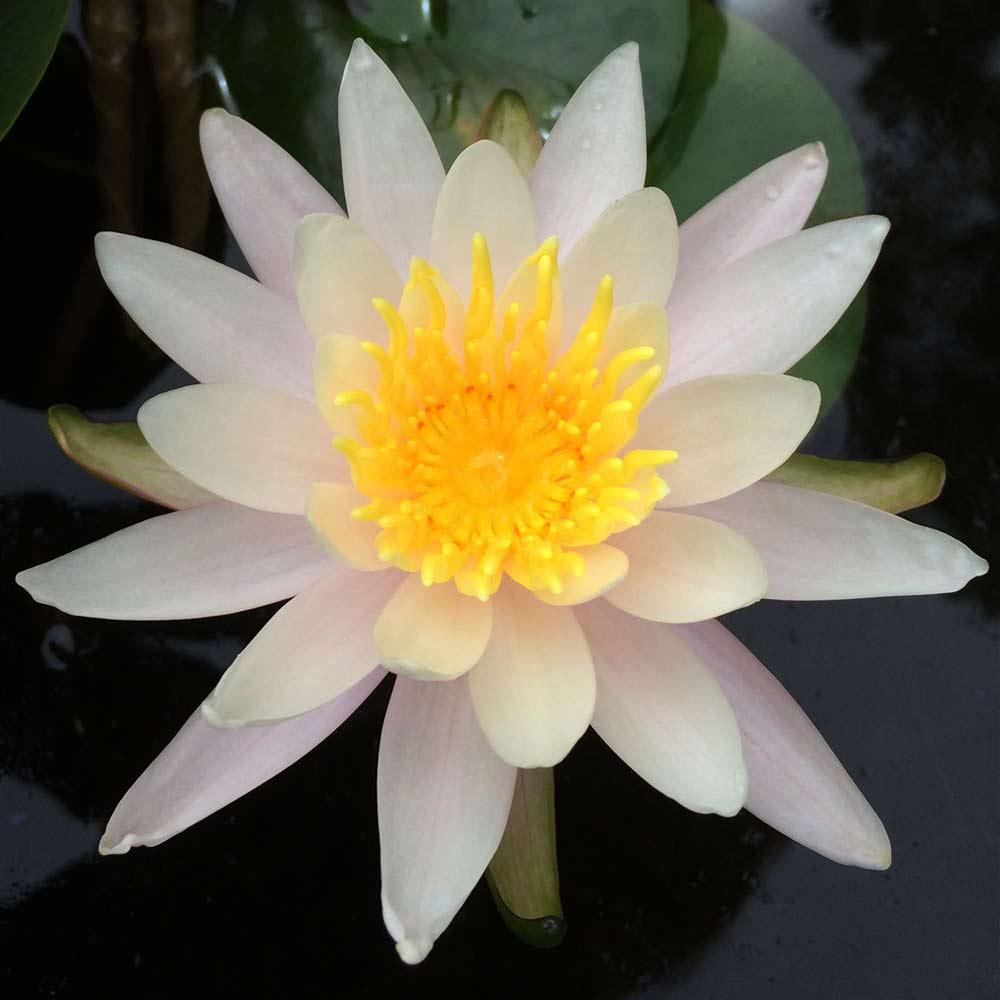Virginalis Hardy Water Lily