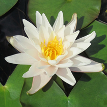 Walter Pagels Hardy Water Lily